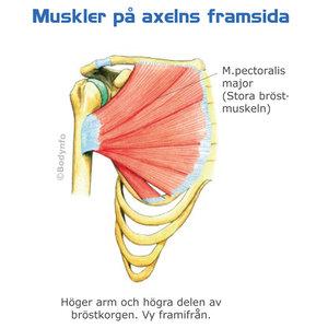Plansch: Anatomi nacke-axlar